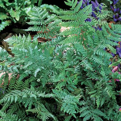 Leatherwood Fern (Dryopteris mar...