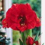 Amaryllis Red Single -Merry Christmas- Wholesale Bulk bag(3 bulbs/bag)