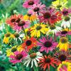 Butterfly Hybrids Coneflower Mixture - 15 Plants