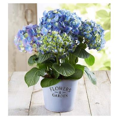 Garden Hydrangea Large by 1-800 Flowers
